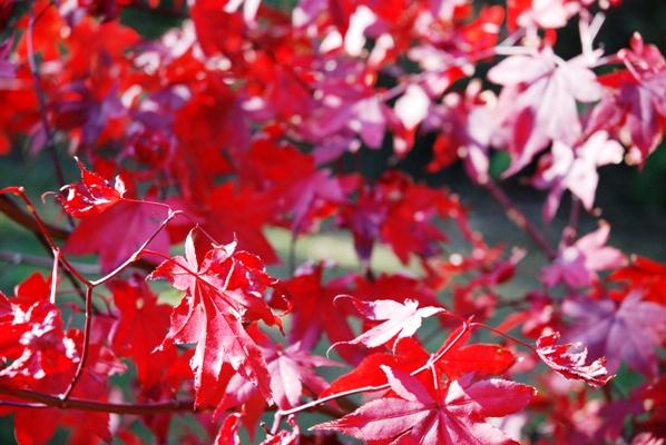 Autumn colour copyright Alison Levey