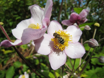 the bee picture copyright Anne Wareham