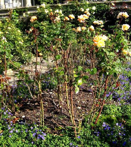 Bodnant roses copyright Anne Wareham for thinkingardens Veddw, Monmouthshire South Wales garden