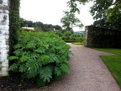 Melianthus beautifully punctuating end of border © Anne Wareham Thinkingardens, think gardens, think in gardens, Aberglasney, Aberglasney Garden, South Wales Garden, Welsh garden, Veddw, garden review