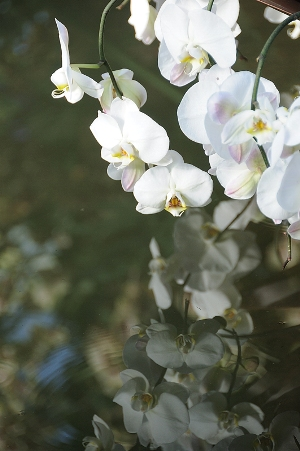 Phalaenopsis reflection  copyright Susanne Masters for  thinkingardens Orchids at Kew