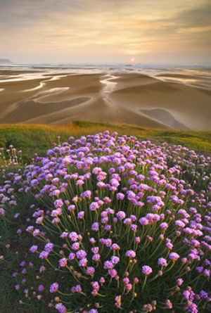 Sea Thrift, north Cornwall ALL_Overall Winner Colin Roberts  IGPOTY on thinkingardens
