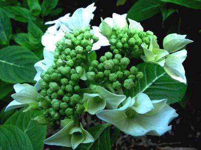 August 2013 Veddw copyright Anne Wareham 027 Hydrangea macrophylla 'Lanarth White' for thinkingardens
