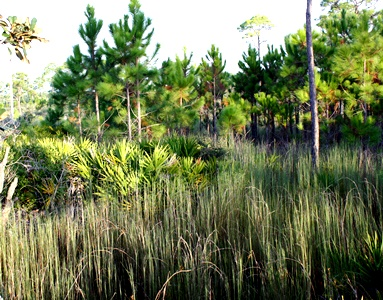 Clearly-legible-patterns-created-by-Blue-Broomsedge-Andropogon-virginicus-var.-glauca-Saw-Palmetto-Seronoa-repens-and-Longleaf-Pine-Pinus-palustris.jpg Thomas rainer for thinkingardens