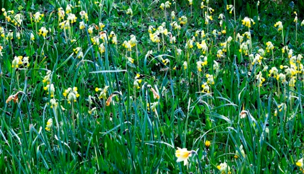 Cowslips in meadow at Veddw copyright Charles Hawes