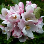 Apple blossom Early May Veddw Copyright Anne Wareham