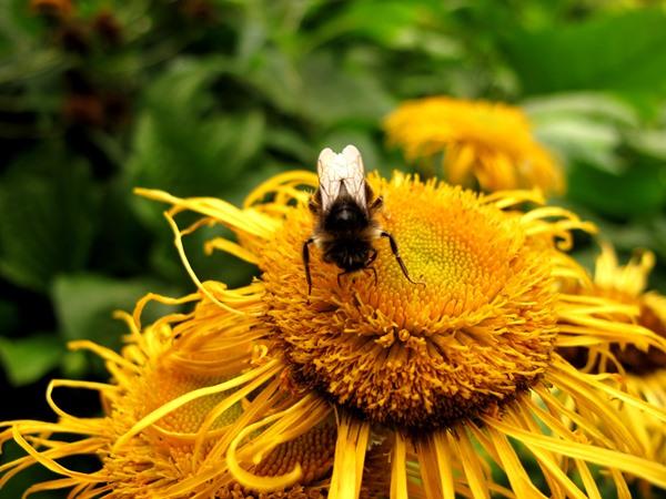 Bee on Inula flower Aug 2013 Veddw copyright Anne Wareham s