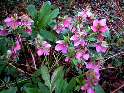 Hellebores with leaves.