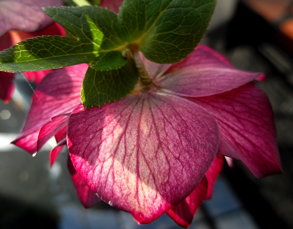 Hellebore Orientalis 'Stained Glass' at Veddw, copyright Anne Wareham
