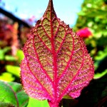 TG leaf Copyright Anne Wareham SAM_8427