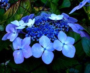 Hydrangea flower Copyright Anne Wareham SAM_3394